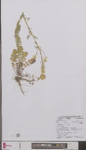 (Barbarea intermedia - L 0895250)  @11 [ ] CreativeCommons - Attribution Non-Commercial Share-Alike (2012) Naturalis Biodiversity center Naturalis Biodiversity center