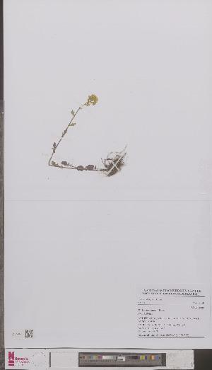 (Barbarea vulgaris - L 0895338)  @11 [ ] CreativeCommons - Attribution Non-Commercial Share-Alike (2012) Naturalis Biodiversity center Naturalis Biodiversity center