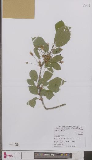 (Prunus avium - L 0895385)  @11 [ ] CreativeCommons - Attribution Non-Commercial Share-Alike (2012) Naturalis Biodiversity center Naturalis Biodiversity center