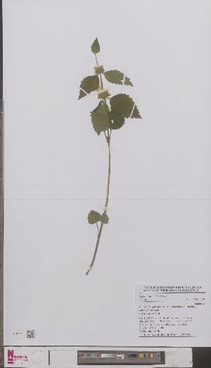 (Lamiastrum galeobdolon galeobdolon - L 0895460)  @11 [ ] CreativeCommons - Attribution Non-Commercial Share-Alike (2012) Naturalis Biodiversity center Naturalis Biodiversity center