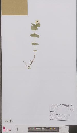(Cornus suecica - L 0895707)  @11 [ ] CreativeCommons - Attribution Non-Commercial Share-Alike (2012) Naturalis Biodiversity center Naturalis Biodiversity center