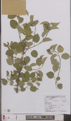 (Prunus mahaleb - L 0895716)  @11 [ ] CreativeCommons - Attribution Non-Commercial Share-Alike (2012) Naturalis Biodiversity center Naturalis Biodiversity center