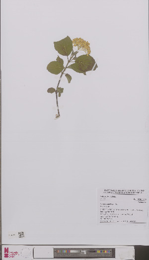 (Cornus sanguinea - L 0895822)  @11 [ ] CreativeCommons - Attribution Non-Commercial Share-Alike (2012) Naturalis Biodiversity center Naturalis Biodiversity center