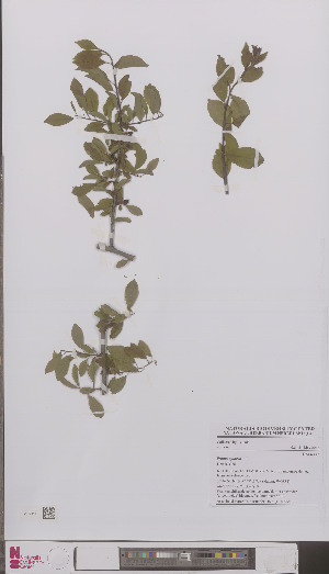 (Prunus spinosa - L 0895839)  @11 [ ] CreativeCommons - Attribution Non-Commercial Share-Alike (2012) Naturalis Biodiversity center Naturalis Biodiversity center