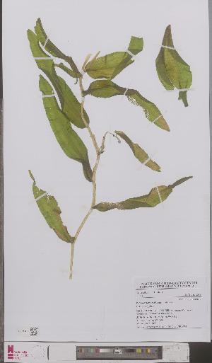 (Potamogeton praelongus - L 0895885)  @11 [ ] CreativeCommons - Attribution Non-Commercial Share-Alike (2012) Naturalis Biodiversity center Naturalis Biodiversity center
