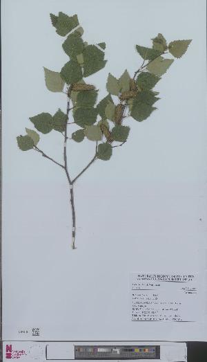 (Betula pubescens - L 0896051)  @11 [ ] CreativeCommons - Attribution Non-Commercial Share-Alike (2012) Naturalis Biodiversity center Naturalis Biodiversity center