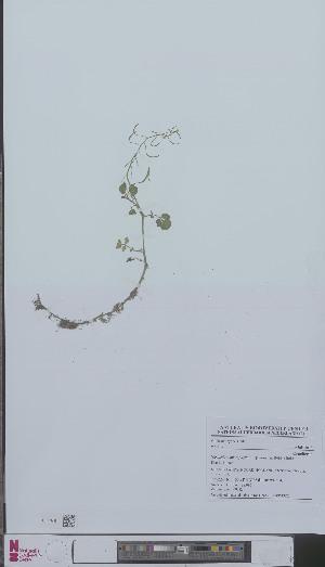 (Nasturtium microphyllum - L 0896132)  @11 [ ] CreativeCommons - Attribution Non-Commercial Share-Alike (2012) Naturalis Biodiversity center Naturalis Biodiversity center