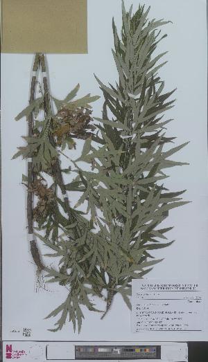 (Artemisia verlotiorum - L 0896337)  @11 [ ] CreativeCommons - Attribution Non-Commercial Share-Alike (2012) Naturalis Biodiversity center Naturalis Biodiversity center