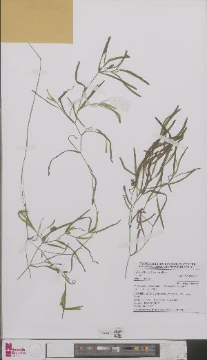 (Potamogeton obtusifolius - L 0892679)  @11 [ ] CreativeCommons - Attribution Non-Commercial Share-Alike (2012) Naturalis Biodiversity center Naturalis Biodiversity center