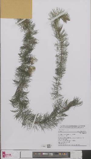 (Myriophyllum heterophyllum - L 0892703)  @11 [ ] CreativeCommons - Attribution Non-Commercial Share-Alike (2012) Naturalis Biodiversity center Naturalis Biodiversity center