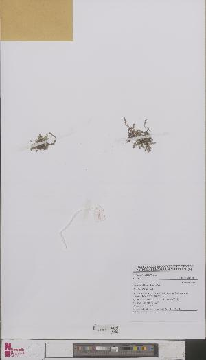 (Crassula tillaea - L 0893016)  @11 [ ] CreativeCommons - Attribution Non-Commercial Share-Alike (2012) Naturalis Biodiversity center Naturalis Biodiversity center