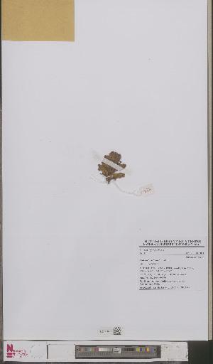 (Orobanche reticulata - L 0893251)  @11 [ ] CreativeCommons - Attribution Non-Commercial Share-Alike (2012) Naturalis Biodiversity center Naturalis Biodiversity center