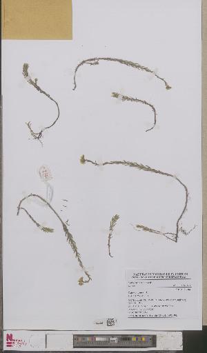 (Sedum rupestre - L 0893230)  @11 [ ] CreativeCommons - Attribution Non-Commercial Share-Alike (2012) Naturalis Biodiversity center Naturalis Biodiversity center