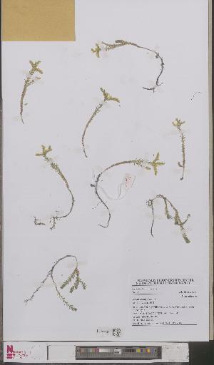(Sedum sexangulare - L 0893314)  @11 [ ] CreativeCommons - Attribution Non-Commercial Share-Alike (2012) Naturalis Biodiversity center Naturalis Biodiversity center