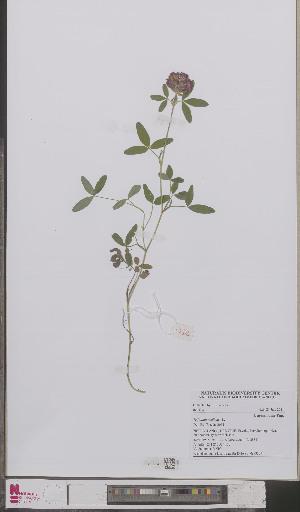(Trifolium - L 0893327)  @11 [ ] CreativeCommons - Attribution Non-Commercial Share-Alike (2012) Naturalis Biodiversity center Naturalis Biodiversity center