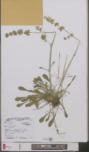 (Silene otites - L 0893551)  @11 [ ] CreativeCommons - Attribution Non-Commercial Share-Alike (2012) Naturalis Biodiversity center Naturalis Biodiversity center