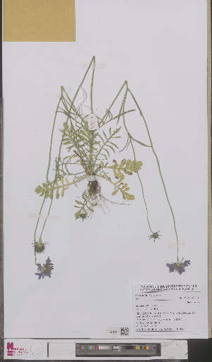 (Scabiosa columbaria - L 0893382)  @11 [ ] CreativeCommons - Attribution Non-Commercial Share-Alike (2012) Naturalis Biodiversity center Naturalis Biodiversity center