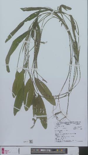 (Potamogeton nodosus - L 0896507)  @11 [ ] CreativeCommons - Attribution Non-Commercial Share-Alike (2012) Naturalis Biodiversity center Naturalis Biodiversity center