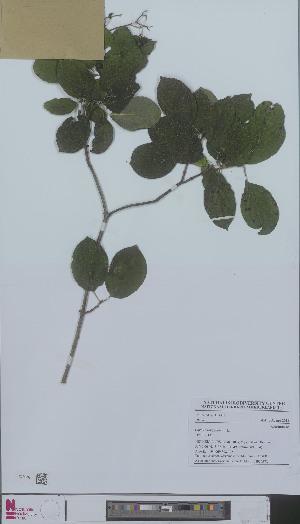 (Cornus sanguinea - L 0896657)  @11 [ ] CreativeCommons - Attribution Non-Commercial Share-Alike (2012) Naturalis Biodiversity center Naturalis Biodiversity center