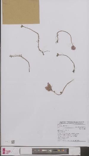 (Sedum spurium - L 0896891)  @11 [ ] CreativeCommons - Attribution Non-Commercial Share-Alike (2012) Naturalis Biodiversity center Naturalis Biodiversity center