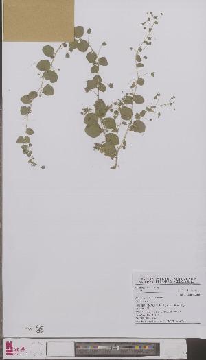 (Kickxia - L 0896858)  @11 [ ] CreativeCommons - Attribution Non-Commercial Share-Alike (2012) Naturalis Biodiversity center Naturalis Biodiversity center