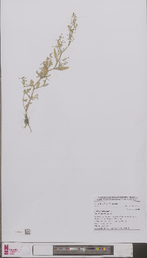 (Chenopodiaceae - L 0896842)  @11 [ ] CreativeCommons - Attribution Non-Commercial Share-Alike (2012) Naturalis Biodiversity center Naturalis Biodiversity center