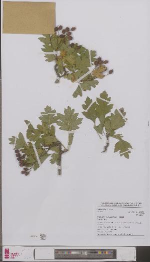(Crataegus x subsphaerica - L 0896941)  @11 [ ] CreativeCommons - Attribution Non-Commercial Share-Alike (2012) Naturalis Biodiversity center Naturalis Biodiversity center