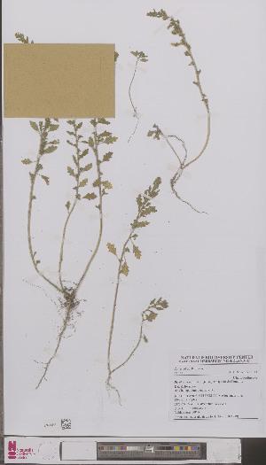 (Chenopodium pumilio - L 0896939)  @11 [ ] CreativeCommons - Attribution Non-Commercial Share-Alike (2012) Naturalis Biodiversity center Naturalis Biodiversity center