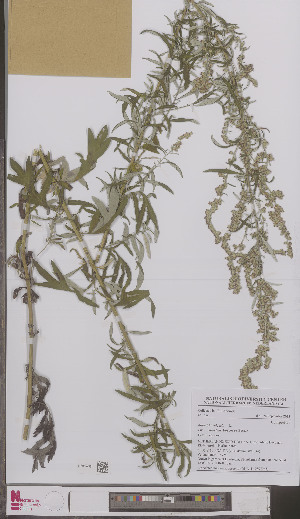 (Artemisia vulgaris - L 0897065)  @11 [ ] CreativeCommons - Attribution Non-Commercial Share-Alike (2012) Naturalis Biodiversity center Naturalis Biodiversity center