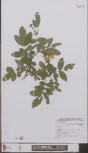 (Rosa villosa - L 0897087)  @11 [ ] CreativeCommons - Attribution Non-Commercial Share-Alike (2012) Naturalis Biodiversity center Naturalis Biodiversity center