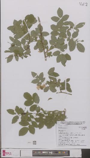 (Rosa pseudoscabriuscula - L 0897092)  @11 [ ] CreativeCommons - Attribution Non-Commercial Share-Alike (2012) Naturalis Biodiversity center Naturalis Biodiversity center