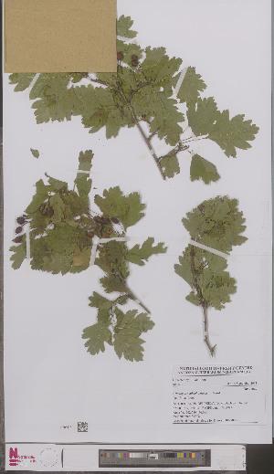 (Crataegus x subsphaerica - L 0897097)  @11 [ ] CreativeCommons - Attribution Non-Commercial Share-Alike (2012) Naturalis Biodiversity center Naturalis Biodiversity center