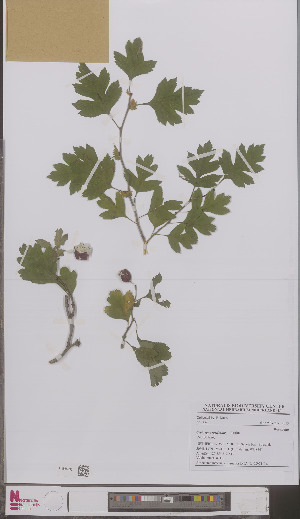 (Crataegus rosiformis - L 0897113)  @11 [ ] CreativeCommons - Attribution Non-Commercial Share-Alike (2012) Naturalis Biodiversity center Naturalis Biodiversity center