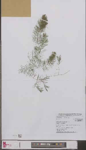 (Ceratophyllum submersum - L 0897158)  @11 [ ] CreativeCommons - Attribution Non-Commercial Share-Alike (2012) Naturalis Biodiversity center Naturalis Biodiversity center