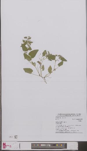 (Viola persicifolia - L 0897167)  @11 [ ] CreativeCommons - Attribution Non-Commercial Share-Alike (2012) Naturalis Biodiversity center Naturalis Biodiversity center