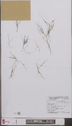(Potamogeton filiformis - L 0897169)  @11 [ ] CreativeCommons - Attribution Non-Commercial Share-Alike (2012) Naturalis Biodiversity center Naturalis Biodiversity center