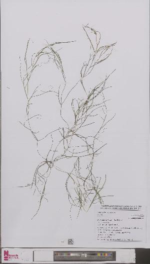 (Potamogeton pectinatus - L 0896444)  @11 [ ] CreativeCommons - Attribution Non-Commercial Share-Alike (2012) Naturalis Biodiversity center Naturalis Biodiversity center
