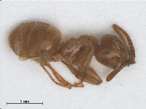(Lasius meridionalis - RMNH.INS.549459)  @14 [ ] CreativeCommons - Attribution Non-Commercial Share-Alike (2013) Unspecified Naturalis Biodiversity Center