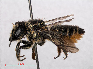 (Megachile centuncularis - RMNH.INS.545392)  @15 [ ] CreativeCommons Attribution Non-Commercial Share-Alike (2013) Unspecified Naturalis Biodiversity Center