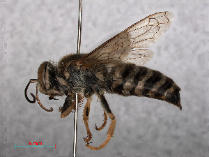 (Bembix rostrata - RMNH.INS.545436)  @15 [ ] CreativeCommons Attribution Non-Commercial Share-Alike (2013) Unspecified Naturalis Biodiversity Center