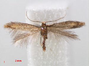 (Tischeriidae - RMNH.INS.544347)  @15 [ ] Unspecified (default): All Rights Reserved  Unspecified Unspecified