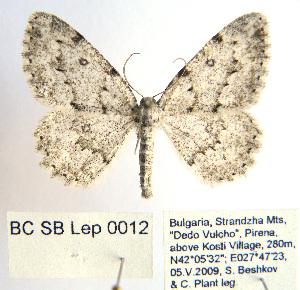 (Kemtrognophos - BC_SB_Lep_0012)  @13 [ ] CreativeCommons - Attribution Non-Commercial Share-Alike (2010) NMNH, Sofia, Bulgaria Biodiversity Institute of Ontario