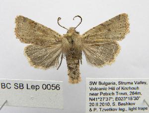 (Spudaea - BC_SB_Lep_0056)  @15 [ ] CreativeCommons - Attribution Non-Commercial Share-Alike (2010) Gergin Blagoev, Biodiversity Intitute of Ontario Biodiversity Institute of Ontario