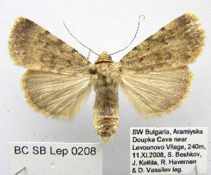 (Toxocampinae - BC_SB_Lep_0208)  @16 [ ] CreativeCommons - Attribution Non-Commercial Share-Alike (2010) Gergin Blagoev, Biodiversity Intitute of Ontario Biodiversity Institute of Ontario