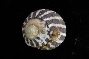 (Austrocochlea - NMSC_0009)  @13 [ ] Copyright  Steve Smith National Marine Science Centre