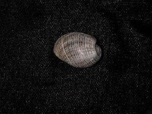 (Gastropoda_incertae_sedis - NMSC_0010)  @13 [ ] Copyright  Steve Smith National Marine Science Centre