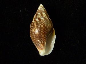 (Pardalina - NMSC_0030)  @11 [ ] Copyright  Steve Smith National Marine Science Centre