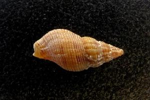(Pisania - NMSC_0245)  @11 [ ] Copyright  Steve Smith National Marine Science Centre
