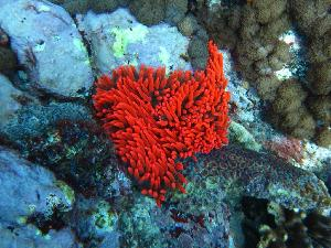 (Entacmaea - SCU_0015)  @14 [ ] Copyright  Steve Smith National Marine Science Centre