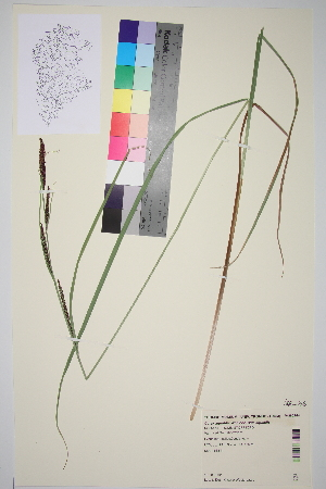 (Carex - TROM_V_380244)  @11 [ ] by-nc-sa (2014) Unspecified Tromsø University Museum